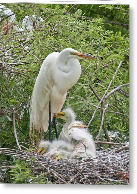 Raising Egrets Greeting Card