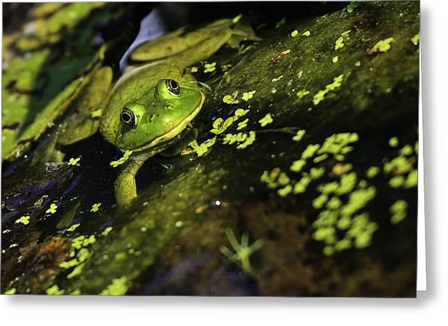Rana Clamitans Or Green Frog Greeting Card
