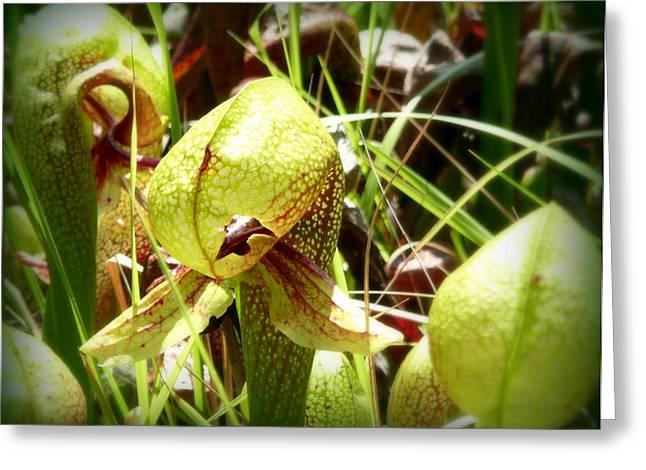 Rare Darlingtonia Plants 2 Greeting Card by Cindy Wright
