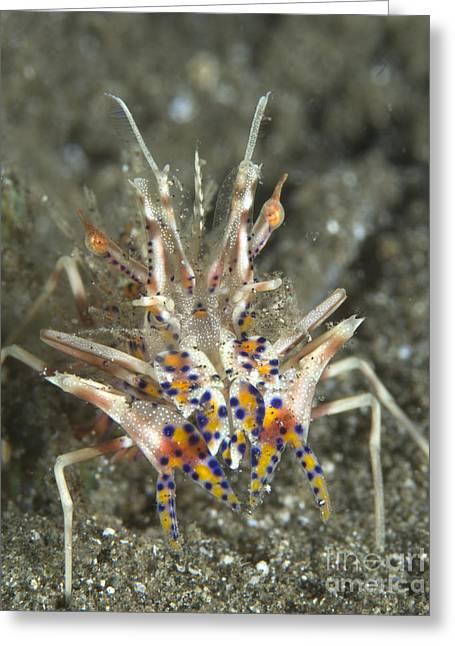 Rare Tiger Shrimp On Volcanic Sand Greeting Card
