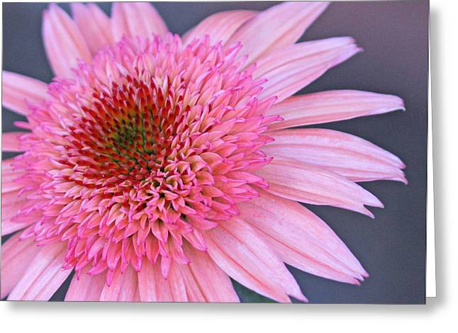 Rasberry Cone Greeting Card by Becky Lodes