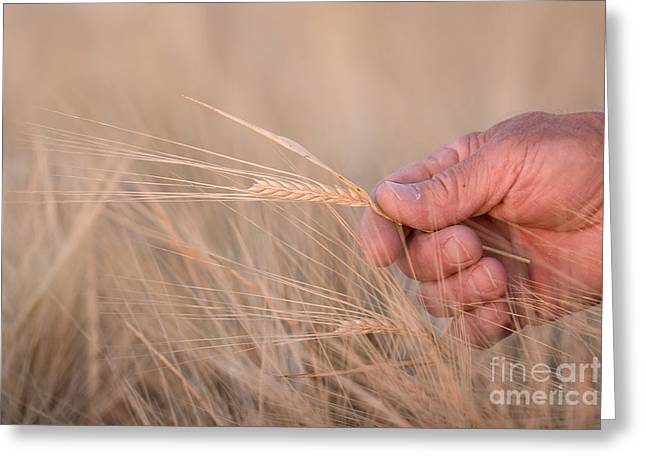 Ready To Harvest Greeting Card by Cindy Singleton