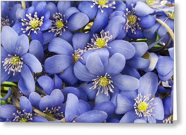 Real First European Springs Flowers Background Greeting Card