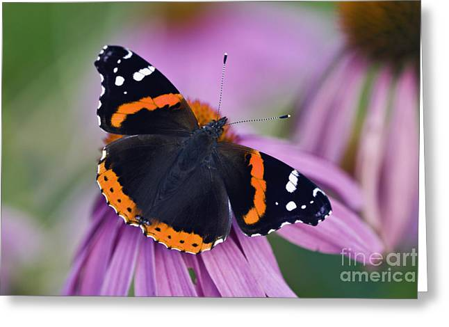 Red Admiral - D007656 Greeting Card by Daniel Dempster