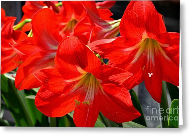Red Amaryllis Flowers Greeting Card