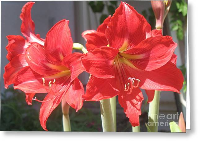 Greeting Card featuring the photograph Red Amaryllis by Kume Bryant