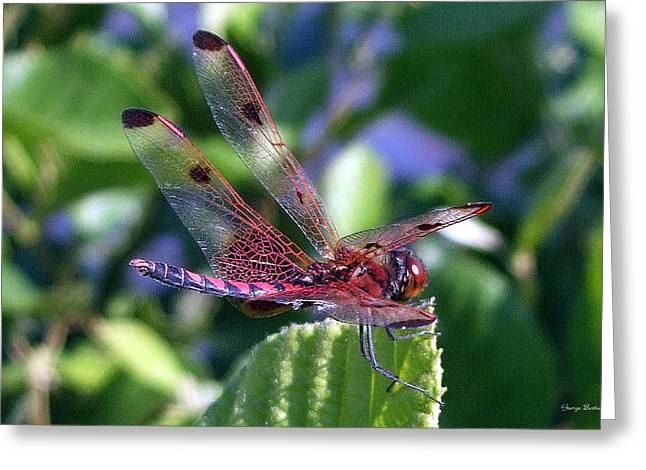Greeting Card featuring the photograph Red And Black Dragonfly by George Bostian