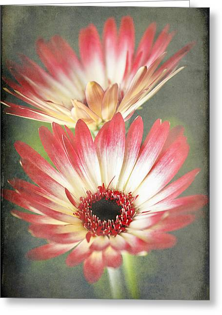 Red And Cream Gerbera Greeting Card by Fiona Messenger