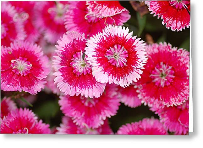 Greeting Card featuring the photograph Red And White Fringed Bachelor Buttons by Peg Toliver