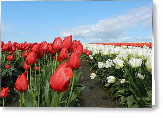 Greeting Card featuring the photograph Red And White Tulips by Karen Molenaar Terrell