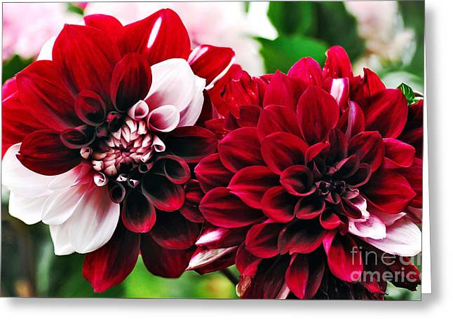 Red And White Variegated Dahlia Greeting Card by Kaye Menner