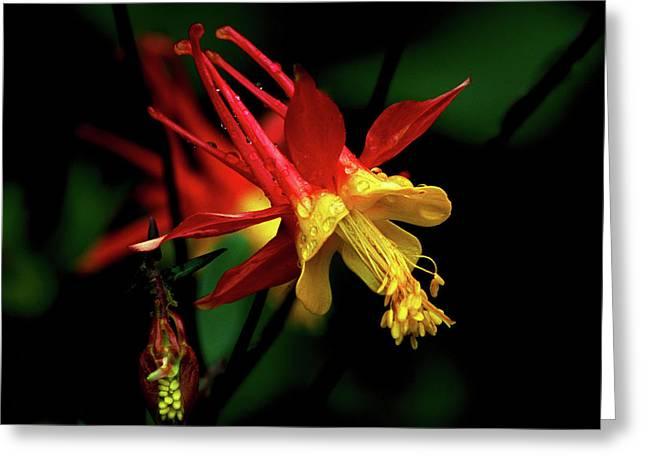 Red And Yellow Columbine Greeting Card