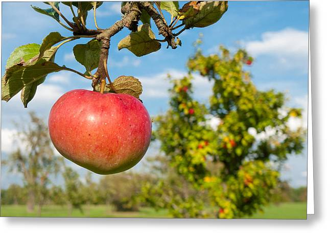 Red Apple On Branch Of Tree Greeting Card