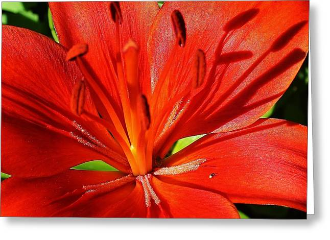 Red Asiatic Lily Greeting Card by Bruce Bley