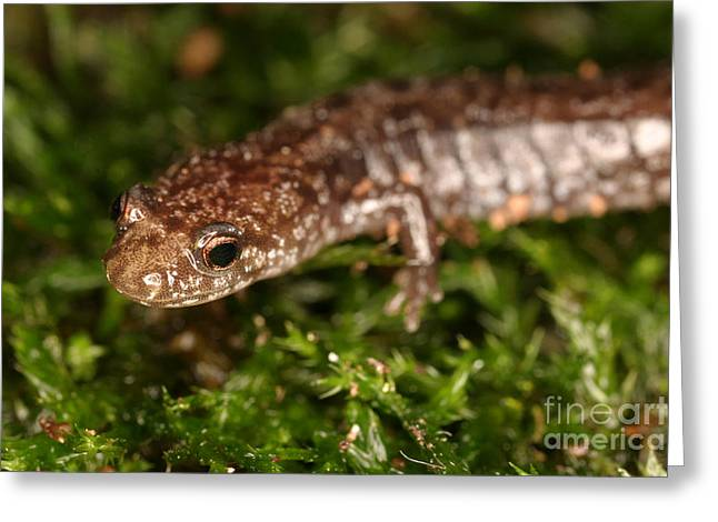 Red-backed Salamander Greeting Card by Ted Kinsman