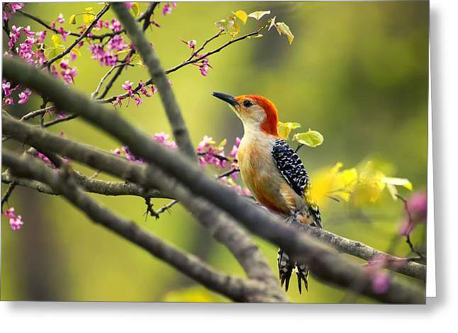 Red Bellied In Tree Greeting Card by Bill Tiepelman