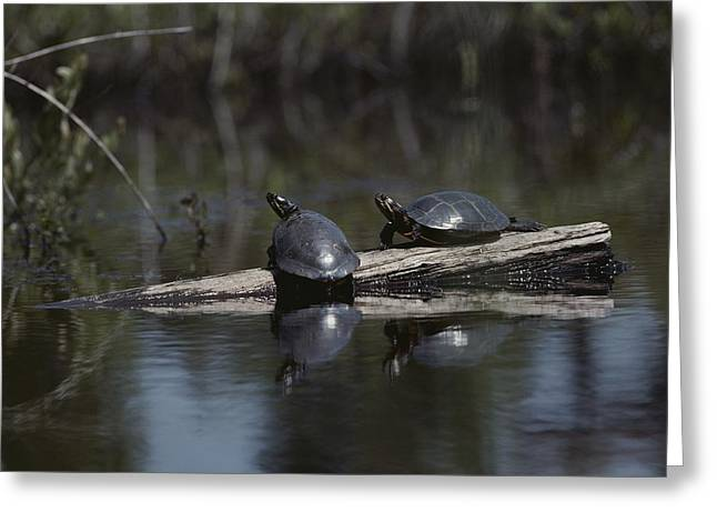 Red Bellied Turtles Sun On A Log Greeting Card by Bill Curtsinger