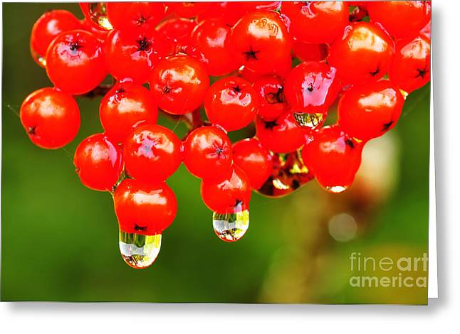 Red Berries And Raindrops Greeting Card by Thomas R Fletcher