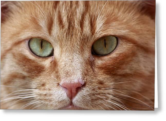 Red Bobcat Greeting Card