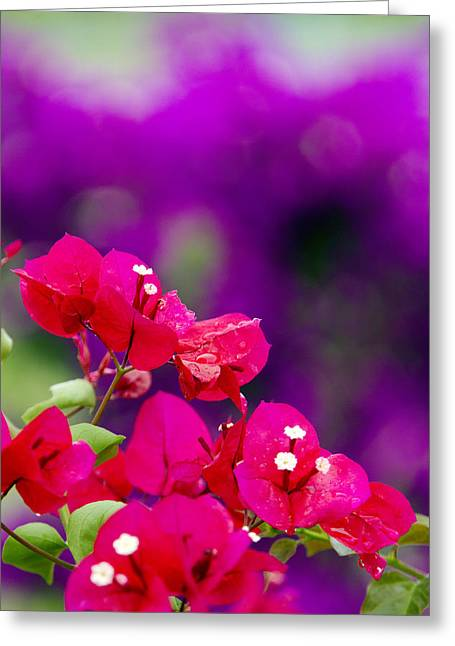 Red Bougainvillaeas Greeting Card by Ron Dahlquist