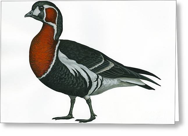 Red Breasted Goose Greeting Card