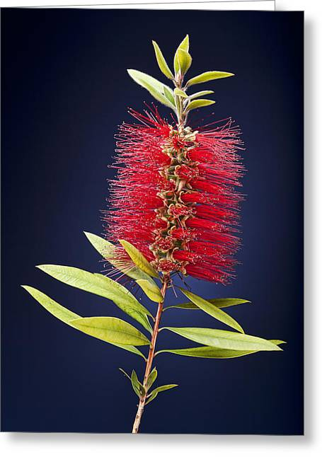 Red Brush Greeting Card by Kelley King