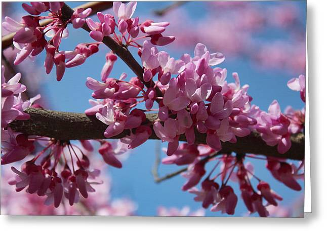 Red Bud In Bloom Greeting Card by Kathleen Holley
