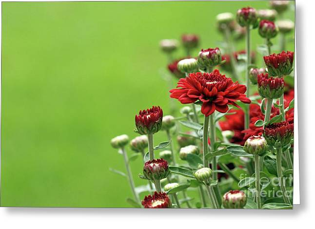 Red Chrysanthemum Greeting Card by Denise Pohl