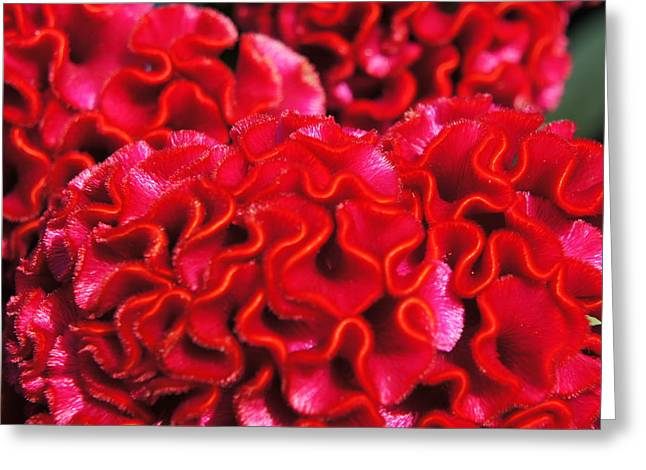 Red Cockscomb Flower Greeting Card by Christopher Mullard