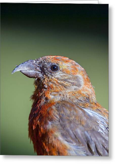 Red Crossbill Greeting Card by Derek Holzapfel