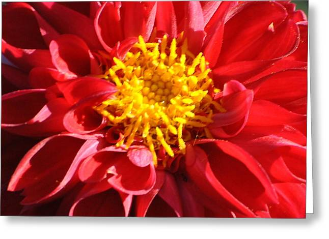 Greeting Card featuring the photograph Red Dahlia by Jodi Terracina