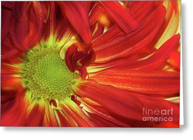 Red Daisy Too Greeting Card by Sabrina L Ryan