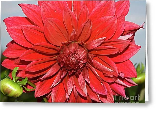 Red Dalia Greeting Card
