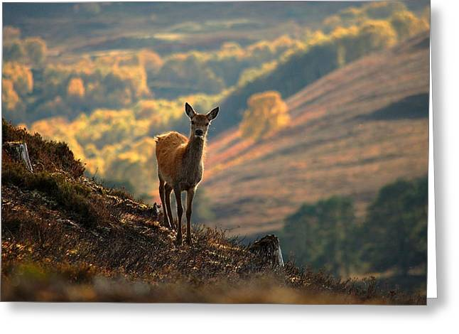 Greeting Card featuring the photograph Red Deer Calf by Gavin Macrae