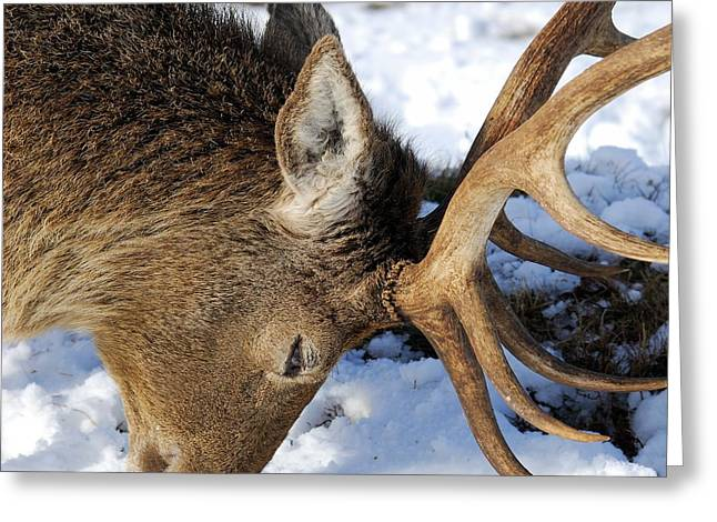 Red Deer Stag Forages For Food Closeup Portrait  Greeting Card by John Kelly