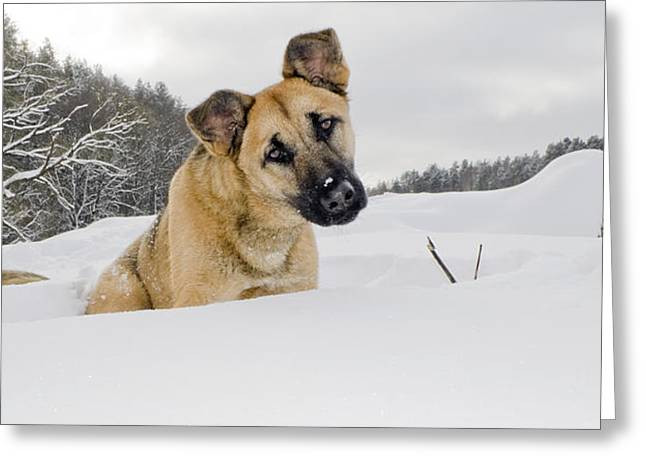 Red Dog Sits In A Snowdrift Greeting Card