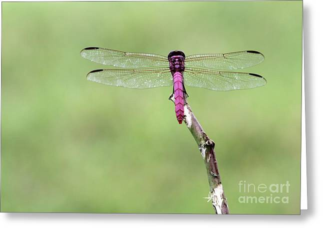 Red Dragonfly Dancer Greeting Card by Sabrina L Ryan