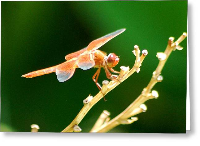 Red Dragonfly Greeting Card by Meeli Sonn
