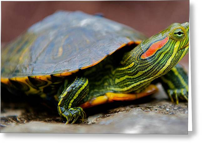 Red Eared Slider Turtle Side View Greeting Card by Kelly Riccetti