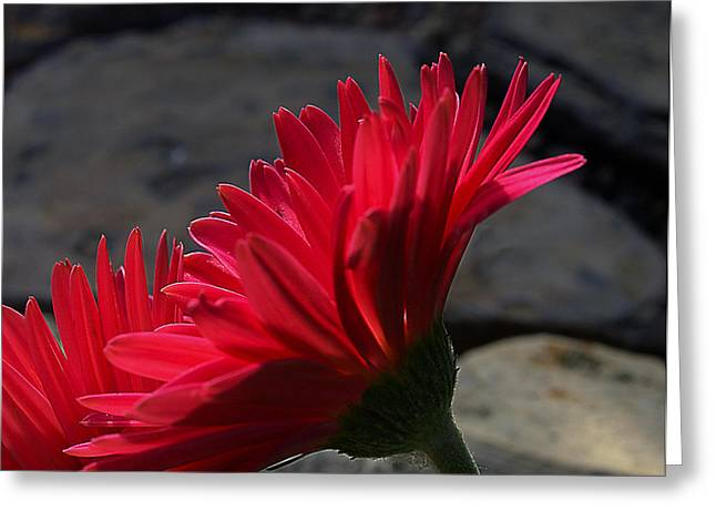 Greeting Card featuring the photograph Red English Daisy by Joe Schofield