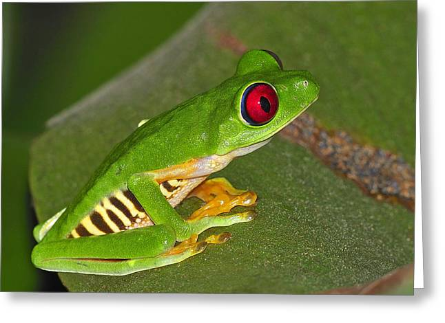 Red-eyed Leaf Frog Greeting Card