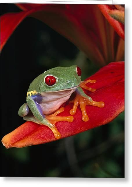Red-eyed Tree Frog Agalychnis Callidryas Greeting Card by Michael Durham