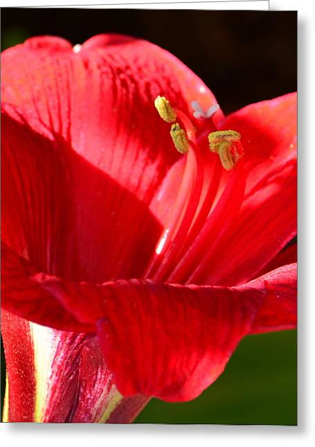 Greeting Card featuring the photograph Red Faced Lily by Tanya Tanski