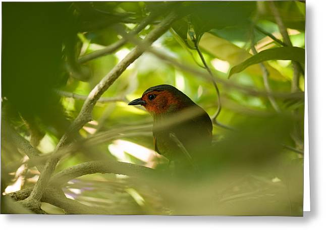 Red-faced Liocichla, Liocichla Greeting Card