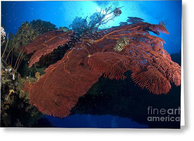 Red Fan Cora With Sunburst, Papua New Greeting Card by Steve Jones