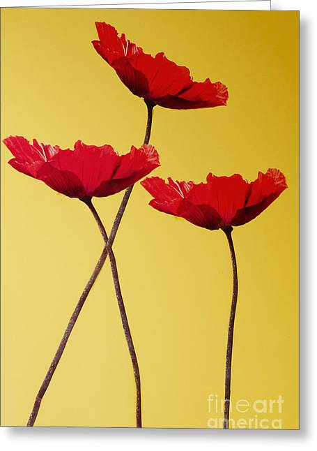 Red-flowered Corn Poppies Greeting Card