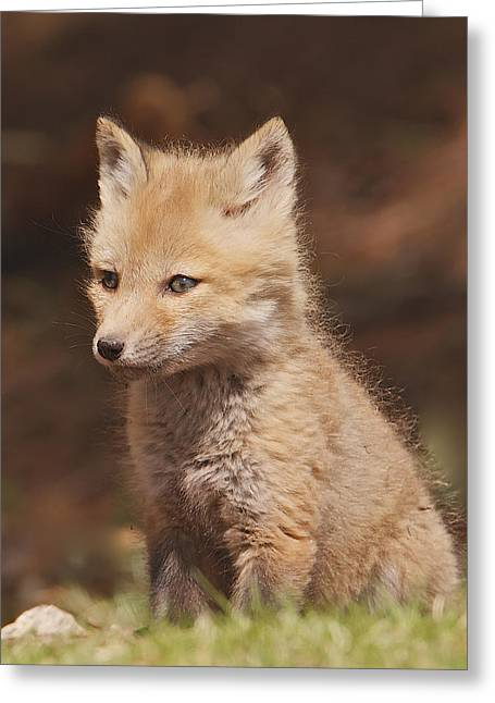 Red Fox Kitt Greeting Card