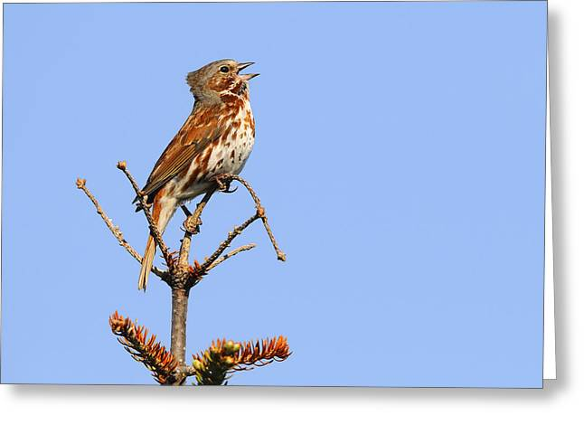 Red Fox Sparrow Greeting Card by Tony Beck
