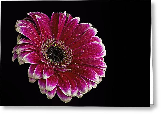 Red Gerbera Greeting Card by Fiona Messenger