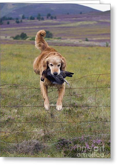 Red Grouse Retrieve - D007989 Greeting Card